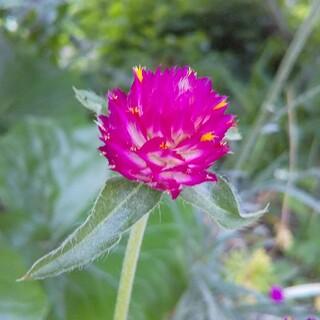 千日紅   ラズベリーフィールド  花種   約50粒(その他)