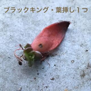 ★レア★【葉挿し・1枚】ブラックキング(多肉植物)(その他)