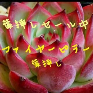 ファイヤーピラー 葉挿し 3枚♥多肉植物  エケベリア(その他)
