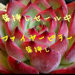 ファイヤーピラー 葉挿し3枚セット♥多肉植物 エケベリア(その他)