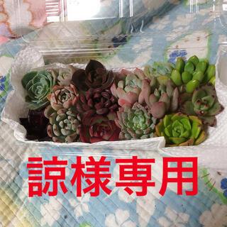 諒様専用  韓国多肉植物寄せ植えセット15種(その他)
