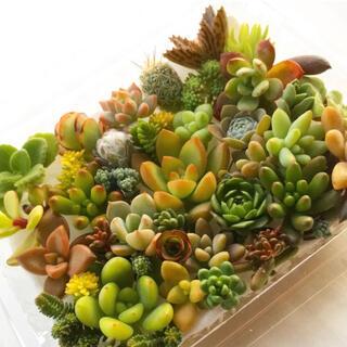 多肉植物 セダム⭐︎その他カット苗パック 15種類以上 t(その他)