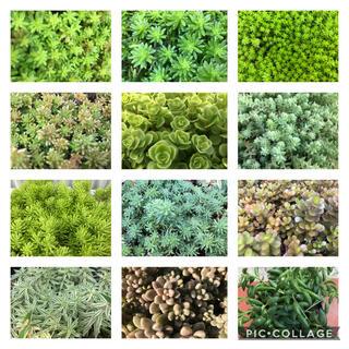 多肉植物★セダム♪12種類★寄せ植えや雑草対策・グリーンカーペットに‼︎(その他)