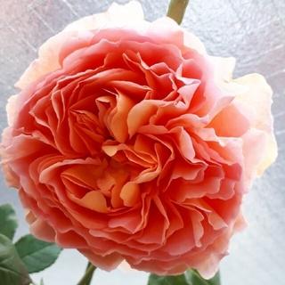 薔薇苗 品種不明(その他)
