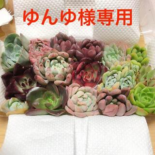 ゆんゆ様専用  韓国多肉植物 寄せ植えセット15種(その他)