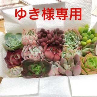 ゆき様専用  韓国多肉植物  寄せ植えセット 15種(その他)