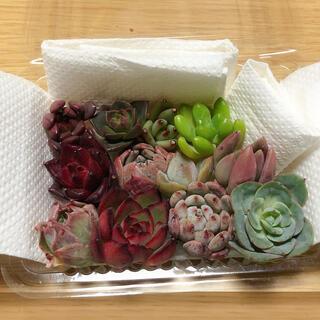 韓国多肉植物寄せ植えセット小さめ12種(その他)