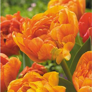 ◆オレンジ八重咲きチューリップ◆サンラバー◆【5球】(その他)
