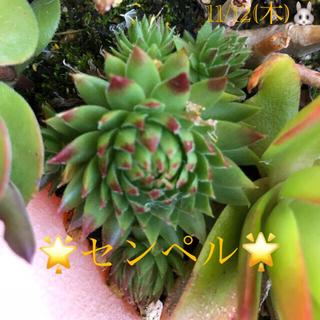 多肉植物❤︎センペル❤︎赤ちゃん付き❤︎抜き苗❤︎ブロンズ姫付き♪(その他)