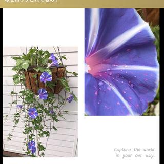 ●  即買いok「ハンキング朝顔」種 10粒 恋しぐれバイオレットブルー(プランター)