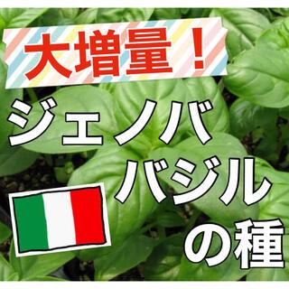 【美味しいジェノベーゼを‼️】ジェノババジルの種 80粒超 バジル ハーブ 種(野菜)