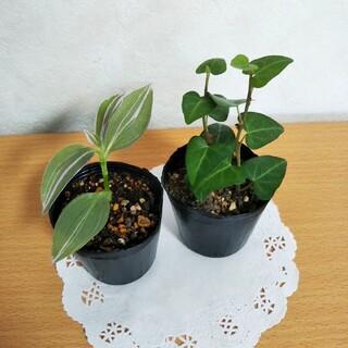 ハートヘデラ  トラデスカンチアラベンダー  抜苗 寒さに強い 観葉植物(その他)