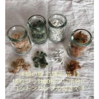 *** 洋綿の種 白薄茶 茶 緑 各15粒 計60粒 少し余分に  ***(ドライフラワー)