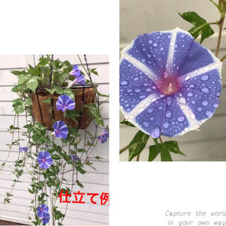 ●  即買いOK 「ハンキング朝顔」種 15粒 恋しぐれバイオレットブルー(プランター)