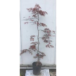 《現品》赤枝垂れ紅葉(アカシダレモミジ)樹高1.4m(根鉢含まず)12【苗木】(その他)