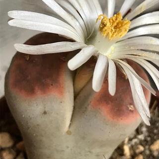 お値下げ¥600→500 ✿冬型植物  多肉植物 お花付き リトープス  抜き苗(その他)