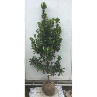 《現品》イチゴの木(ストロベリーツリー)樹高1.4m(根鉢含まず)19【苗木】(その他)