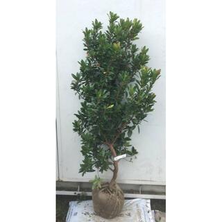 《現品》イチゴの木(ストロベリーツリー)樹高1.2m(根鉢含まず)22【苗木】(その他)