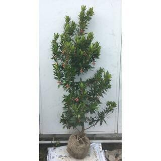 《現品》イチゴの木(ストロベリーツリー)樹高1.3m(根鉢含まず)24【苗木】(その他)