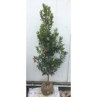 《現品》イチゴの木(ストロベリーツリー)樹高1.3m(根鉢含まず)25【苗木】(その他)
