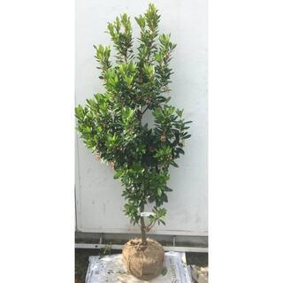 《現品》イチゴの木(ストロベリーツリー)樹高1.3m(根鉢含まず)26【苗木】(その他)