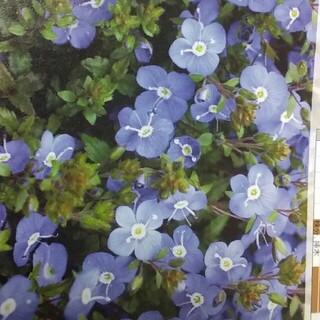 ベロニカ オックスフォードブルー 12㎝ポット 1苗 抜き苗 根がよく育ってます(その他)