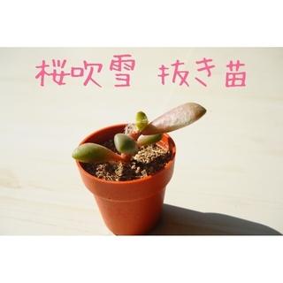 《新しいお家が決まりました☺︎》桜吹雪 抜き苗 1本 多肉植物(その他)