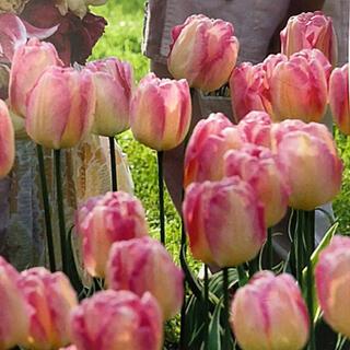 ◆チューリップ球根 【品種:ピンク/白 2色咲き】  5球(その他)