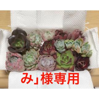 み」様専用 韓国多肉植物寄せ植えセット11種④(その他)