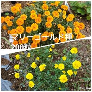 マリーゴールド 種 オレンジ100粒 黄色100粒(その他)