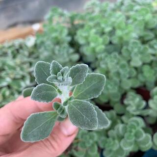 シルバーグラス 根付き 4本 多肉植物(プランター)