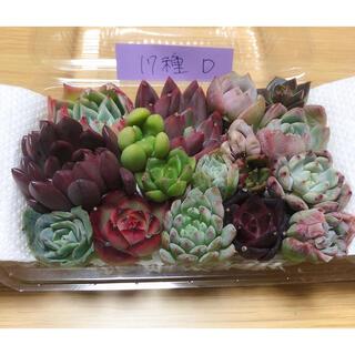 韓国多肉植物寄せ植えセット17種(D)(その他)