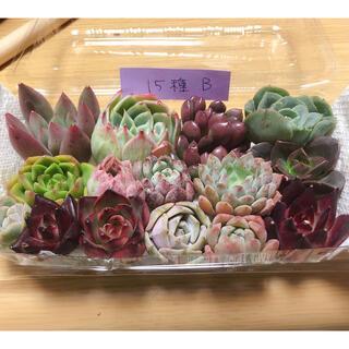 韓国多肉植物寄せ植えセット15種(B)(その他)