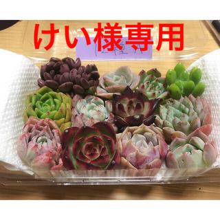 けい様専用  韓国多肉植物寄せ植えセット12種A(その他)