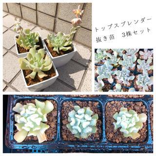 【多肉植物】 エケベリア トップスプレンダー 抜き苗 3株セット(その他)