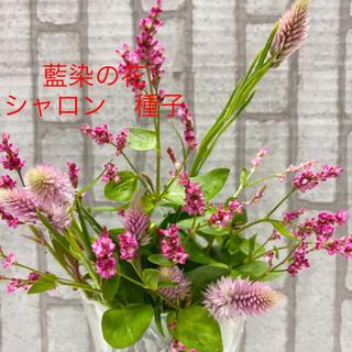 藍染の花(タデアイ)  シャロン 種子 種(その他)