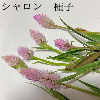 ケイトウ セロシア シャロン 種子 種 (その他)