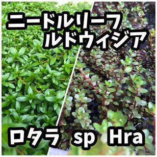 ニードルリーフルドウィジア ロタラ sp Hra 水上葉20本+αセット(アクアリウム)