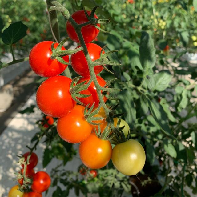 フルティカ&ミニトマトセット 1.5kg 食品/飲料/酒の食品(野菜)の商品写真