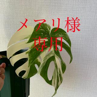 斑入りモンステラ(プランター)
