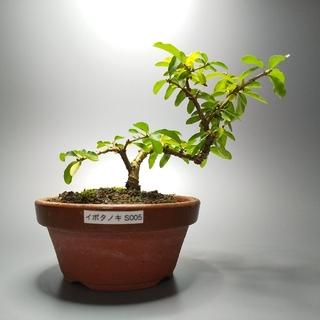 イボタノキ(水蝋樹)S005(その他)