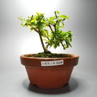 イボタノキ(水蝋樹)S006(その他)
