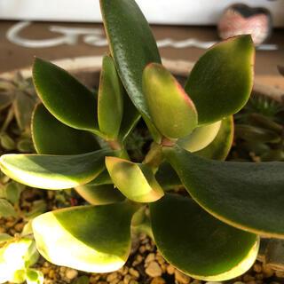 多肉植物 斑入り金のなる根付き苗 約13㎝ 綺麗な斑入り(その他)