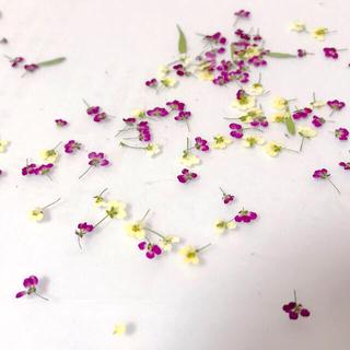 ☆60輪☆一輪タイプアリッサムドライフラワー 押し花(ドライフラワー)
