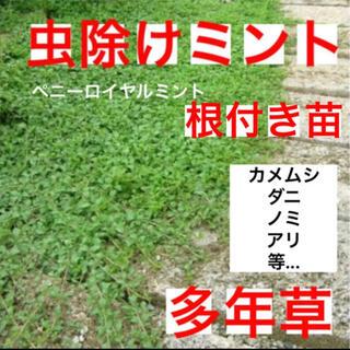 ☆虫除けになる☆這性ペニーロイヤルミント☆(プランター)