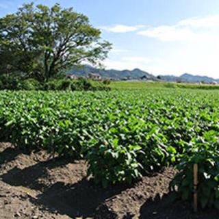 丹波の黒豆 農家直送(野菜)
