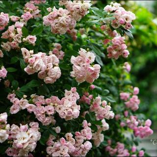 つるバラ ピンク 群舞 挿し木苗 根っこ付き バラ苗(その他)