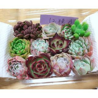 韓国多肉植物寄せ植えセット12種(A)(その他)