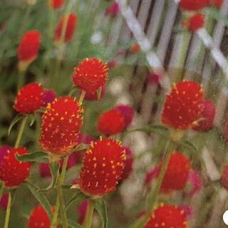 千日紅の種(ピンク)(その他)