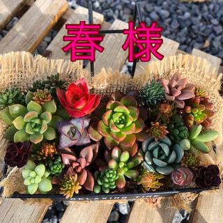 多肉植物【カット】(その他)